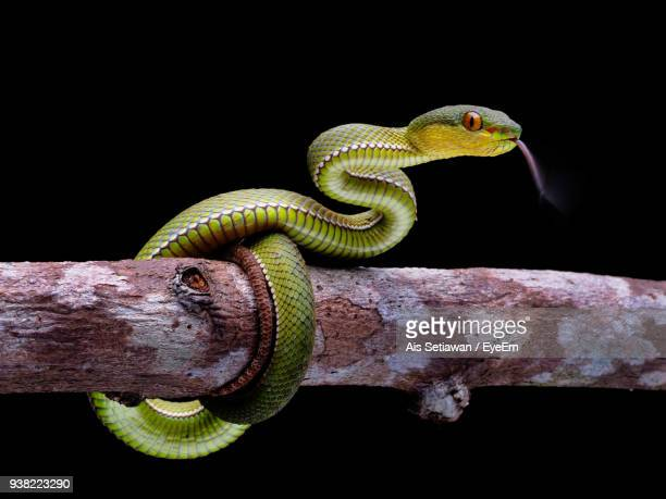close-up of snake coiled on branch against black background - ramo parte della pianta foto e immagini stock