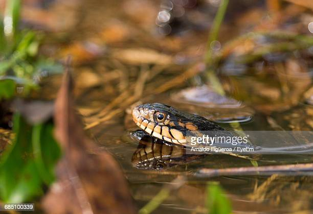 Close-Up Of Snake In Pond