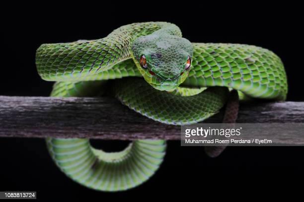 close-up of snake on black background - snake stock pictures, royalty-free photos & images