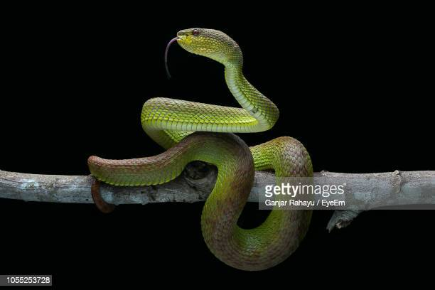 close-up of snake on branch against black background - snake stock pictures, royalty-free photos & images