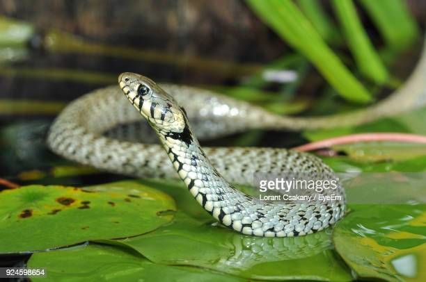 Close-Up Of Snake On Leaves In Lake