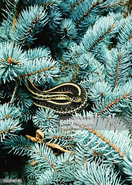 Close-Up Of Snake On Pine Tree