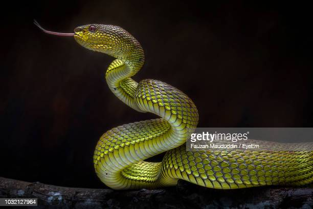 close-up of snake on tree at night - toxic substance stock photos and pictures
