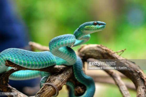 close-up of snake on tree - snake stock pictures, royalty-free photos & images