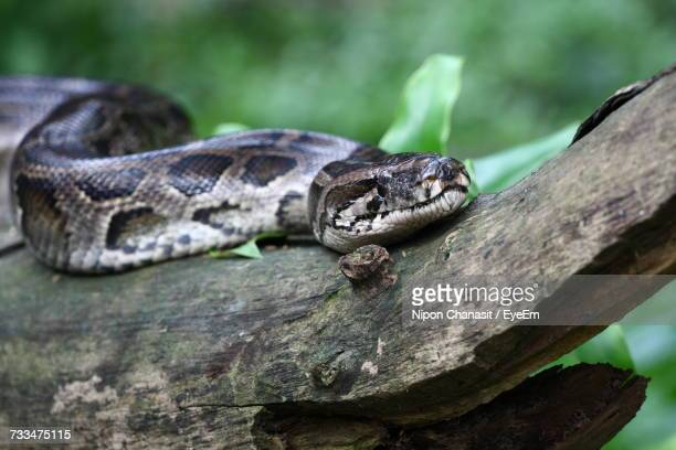 close-up of snake on tree - burmese python stock pictures, royalty-free photos & images