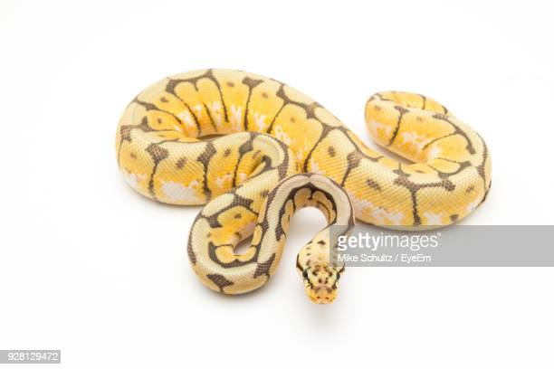 Close-Up Of Snake Over White Background
