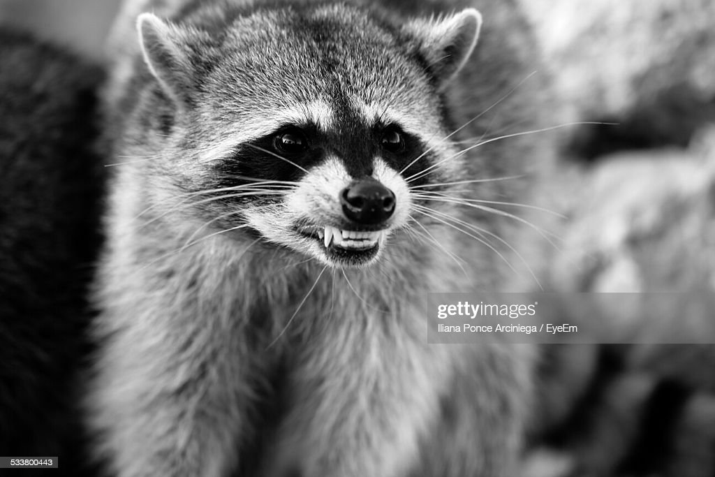 Close-Up Of Snarling Raccoon : Foto stock
