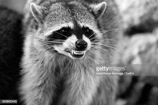 close-up of snarling raccoon - raccoon stock pictures, royalty-free photos & images