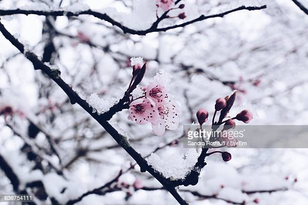 Close-Up Of Snow Covered Cherry Tree