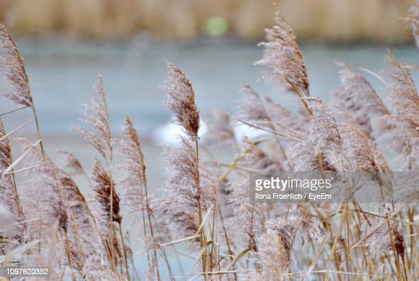 close-up of snow covered field - reed grass family stock photos and pictures