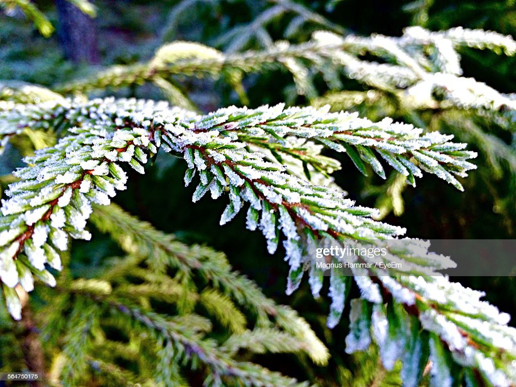 Close-Up Of Snow Covered Fir Tree : Stock Photo