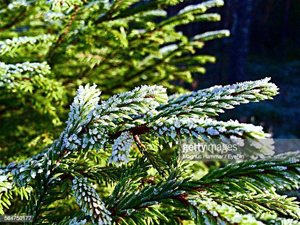 Close-Up Of Snow Covered Fir Tree