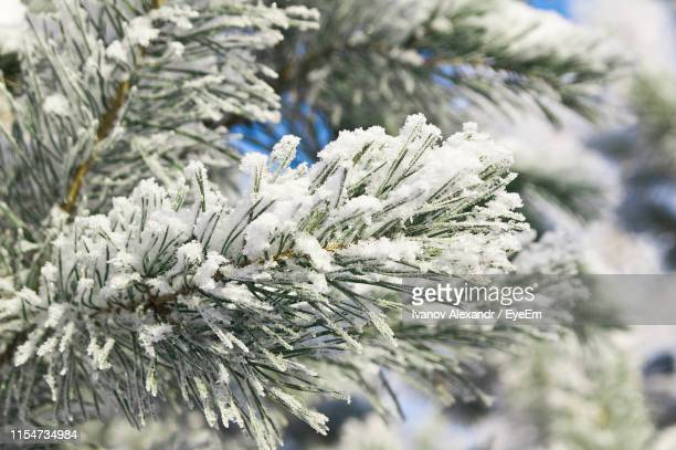 close-up of snow covered pine tree - pine woodland stock pictures, royalty-free photos & images
