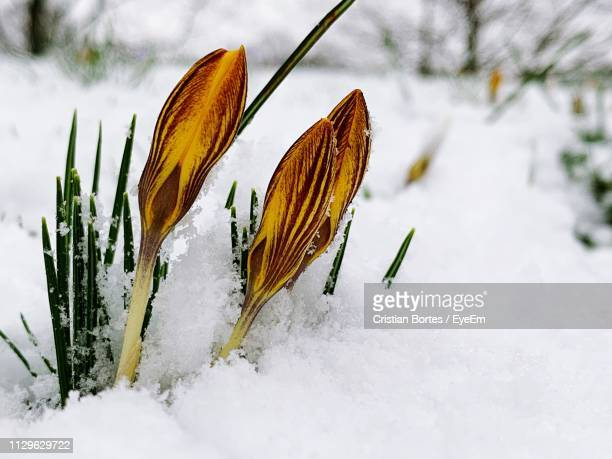 Close-Up Of Snow Covered Plant On Field