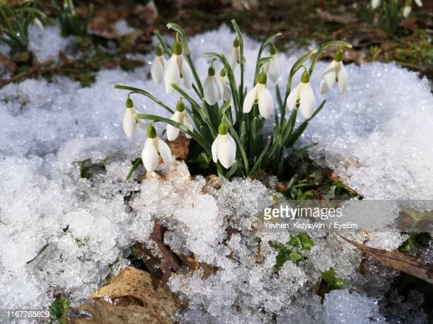 close-up of snow covered plants on field - snowdrop stock pictures, royalty-free photos & images