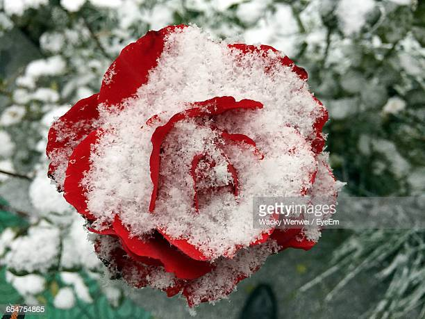 Close-Up Of Snow Covered Red Flower