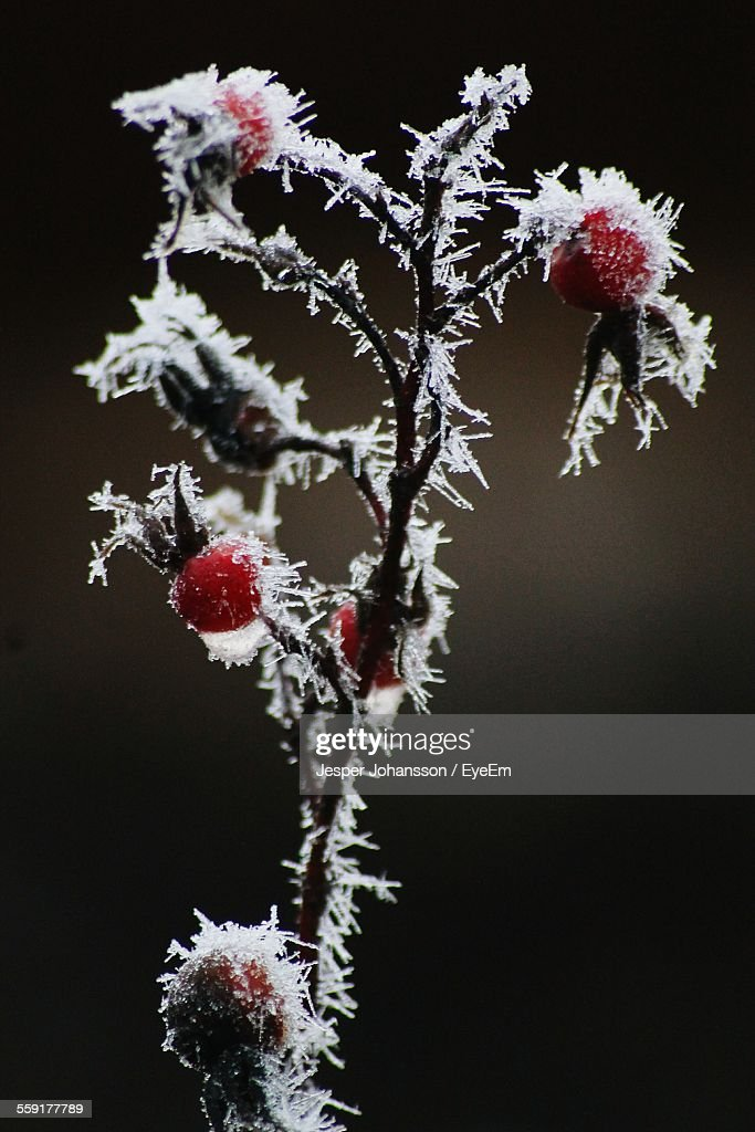 Close-Up Of Snow Covered Rose Hips : Stock Photo