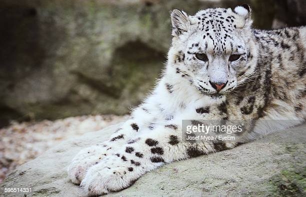 Close-Up Of Snow Leopard Relaxing On Field