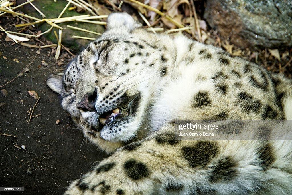 Close-up of snow leopard sleeping : Stock Photo