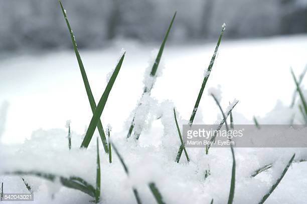 Close-Up Of Snow On Grasses During Winter