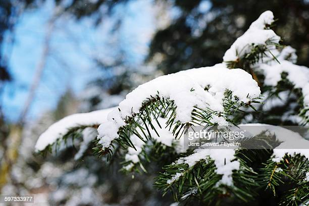Close-Up Of Snow On Pine Twig