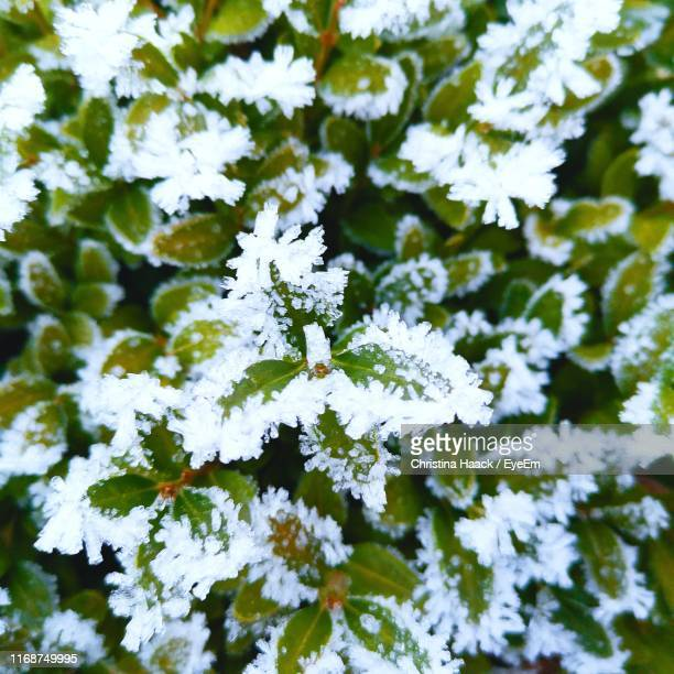 close-up of snow on plant during winter - haack stock pictures, royalty-free photos & images