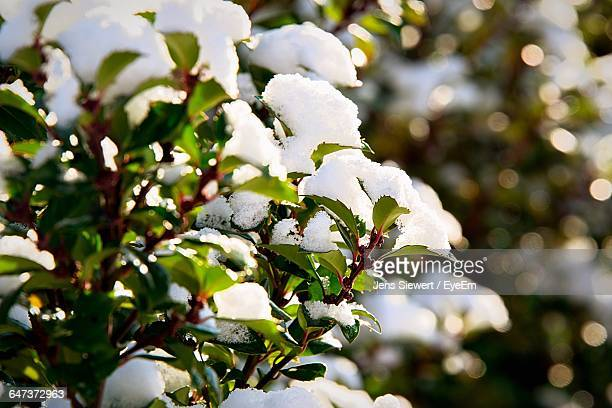 Close-Up Of Snow On Plants