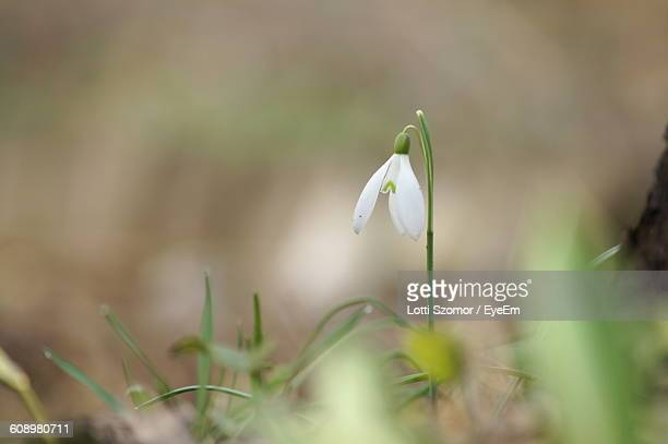 Close-Up Of Snowdrop Blooming Outdoors
