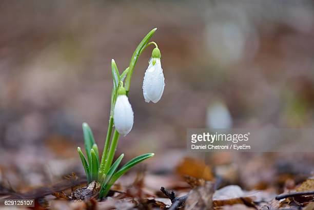 Close-Up Of Snowdrops Growing On Plant At Field