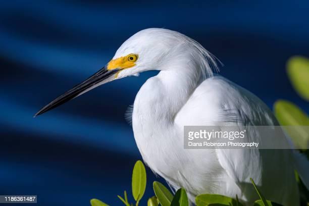 "closeup of snowy egret sitting in a mangrove tree at j.n. ""ding"" darling national wildlife refuge on sanibel island, florida - 国立野生生物保護区 ストックフォトと画像"