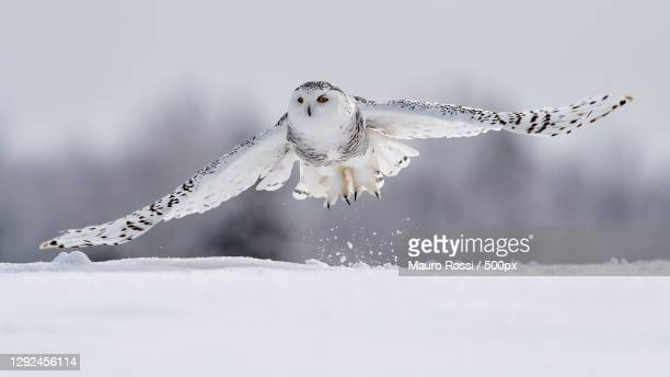 close-up of snowy owl flying on snow covered field,canada - snowy owl stock pictures, royalty-free photos & images