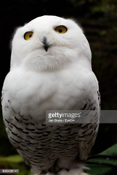 Close-Up Of Snowy Owl Looking Away