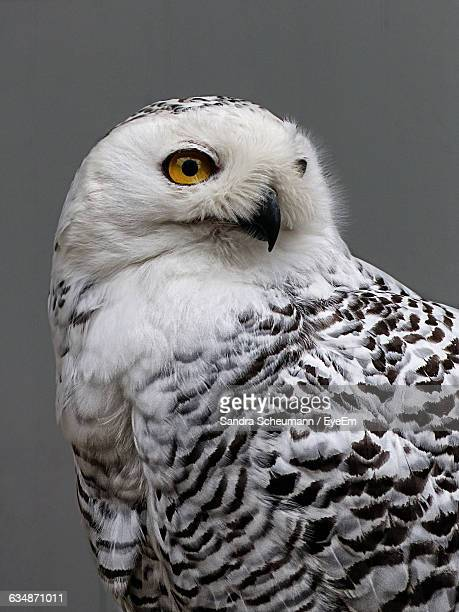 Close-Up Of Snowy Owl Outdoors