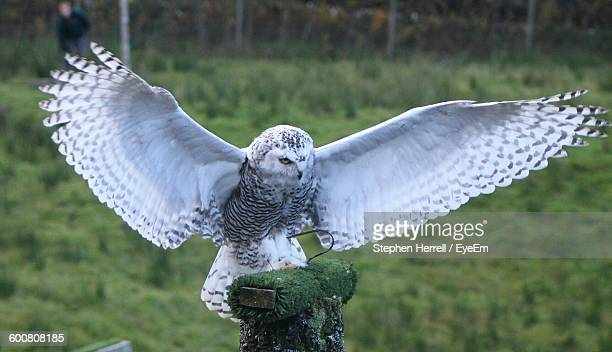 close-up of snowy owl with spread wings perching on wooden post - chouette blanche photos et images de collection