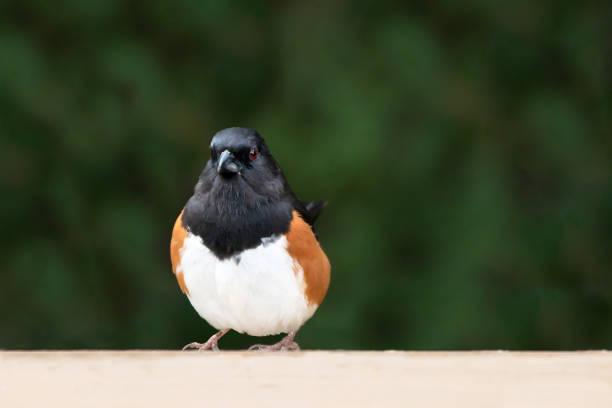 Close-up of songbird perching on retaining wall,London,Ontario,Canada