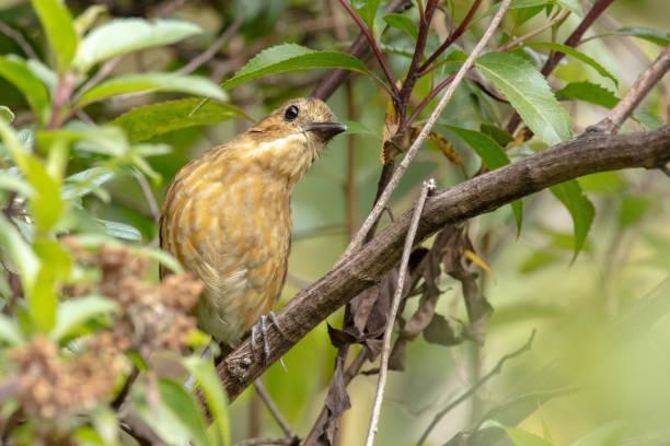 Close-up of songbird perching on tree,Distrito Metropolitano de Quito,Pichincha,Ecuador