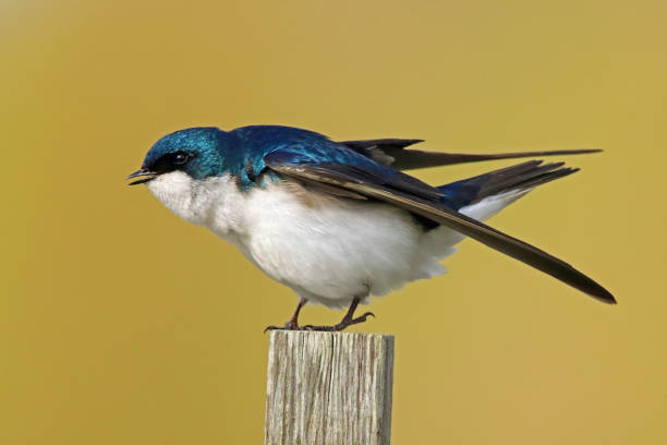 Close-up of songblueswallow perching on wooden post,Delta,British Columbia,Canada