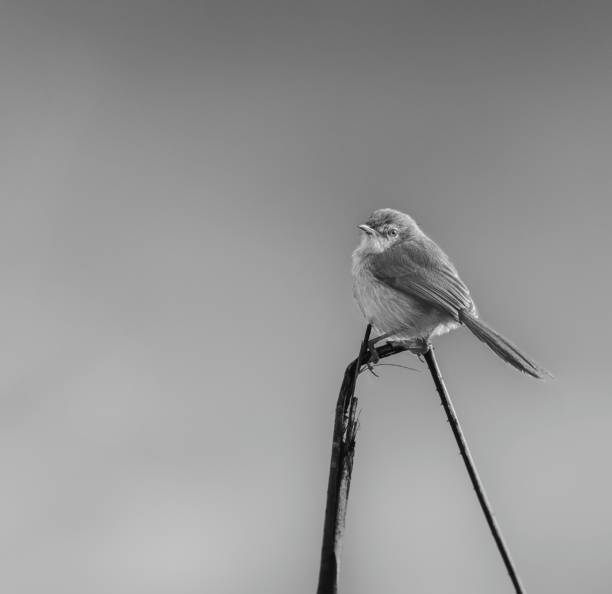 Close-up of songpasserine sparrow perching on branch