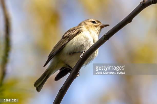 close-up of songpasserine sparrow perching on branch,sarnia,ontario,canada - サルニア ストックフォトと画像