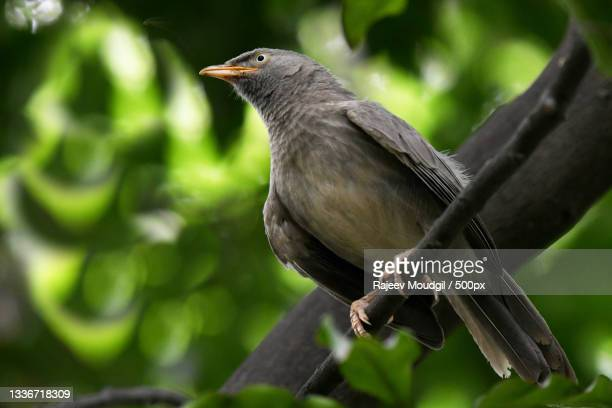 close-up of songpasserine tropical bird perching on branch,chandigarh,india - chandigarh stock pictures, royalty-free photos & images
