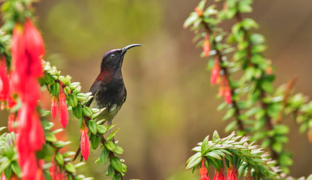 Close-up of songtropical songbird perching on plant,Neora Valley National Park,India