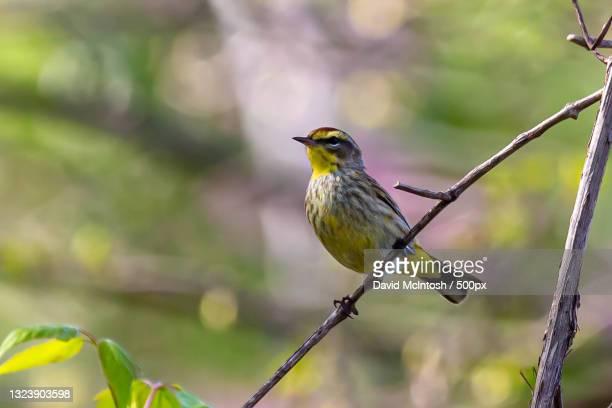 close-up of songwarbler perching on branch,sarnia,ontario,canada - サルニア ストックフォトと画像