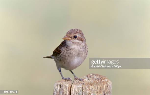 close-up of songwren perching on wood - member of congress stock pictures, royalty-free photos & images
