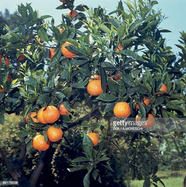 Close-up of Sour oranges on a tree