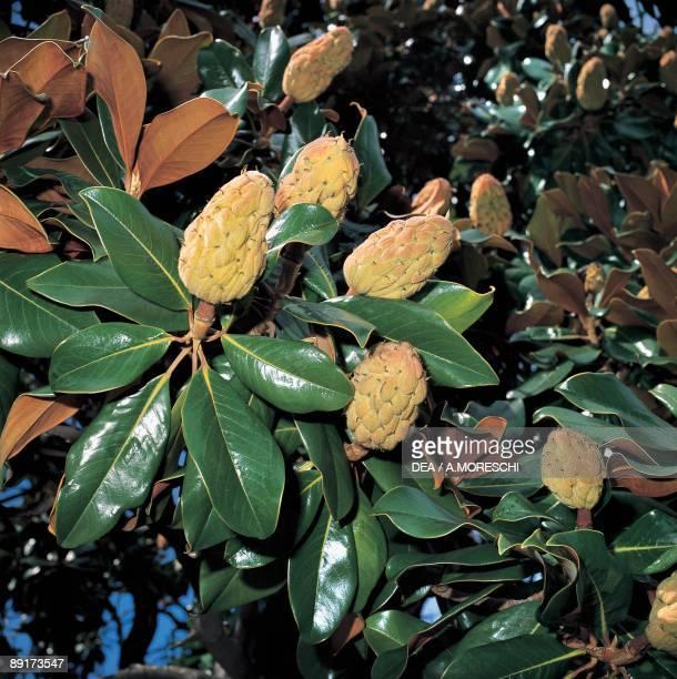 Closeup of Southern magnolia