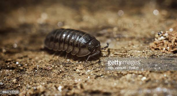 close-up of sow bug on field - potato bug stock pictures, royalty-free photos & images