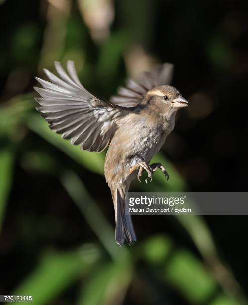 Close-Up Of Sparrow Flying