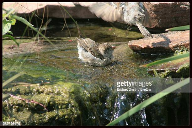 Close-Up Of Sparrow In Water