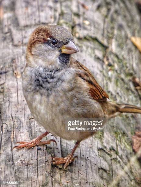 Close-Up Of Sparrow On Wooden Log
