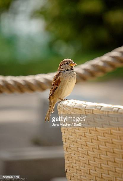 Close-Up Of Sparrow Perching On Chair